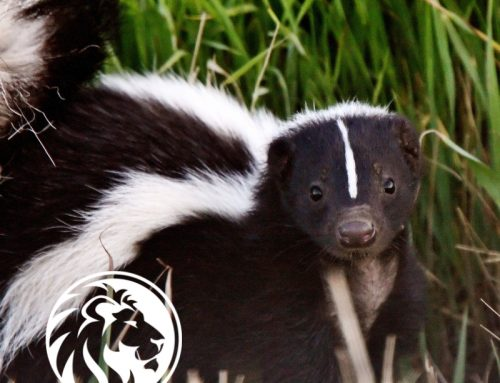 Skunk in a Can, that stinks